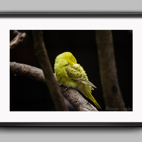 Little budgie logging in power nap small